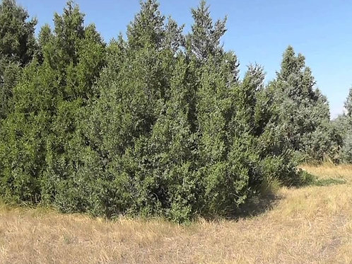 Rocky Mountain Juniper (Large Tube)