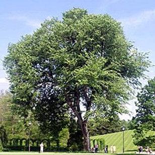 American Elm (Bare Root)