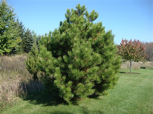 Austrian Pine (Large Tube)