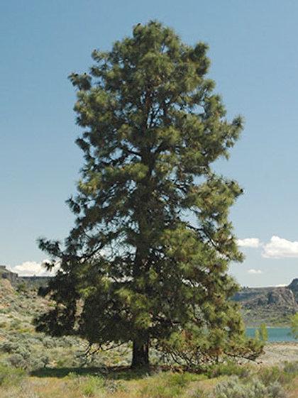 Ponderosa Pine (Large Tube)