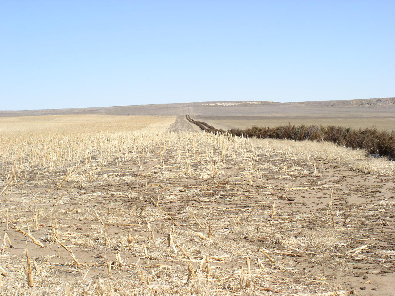 field windbreak with standing corn