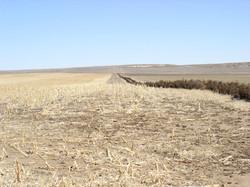 field windbreak with standing corn