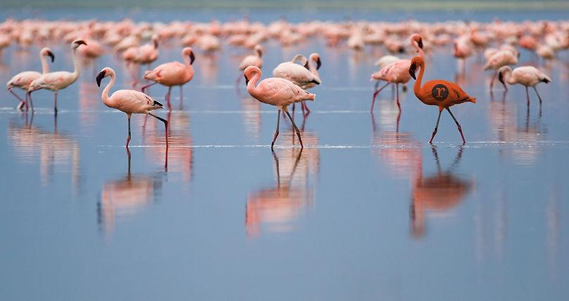 Flamingo-RedheadPress.jpg