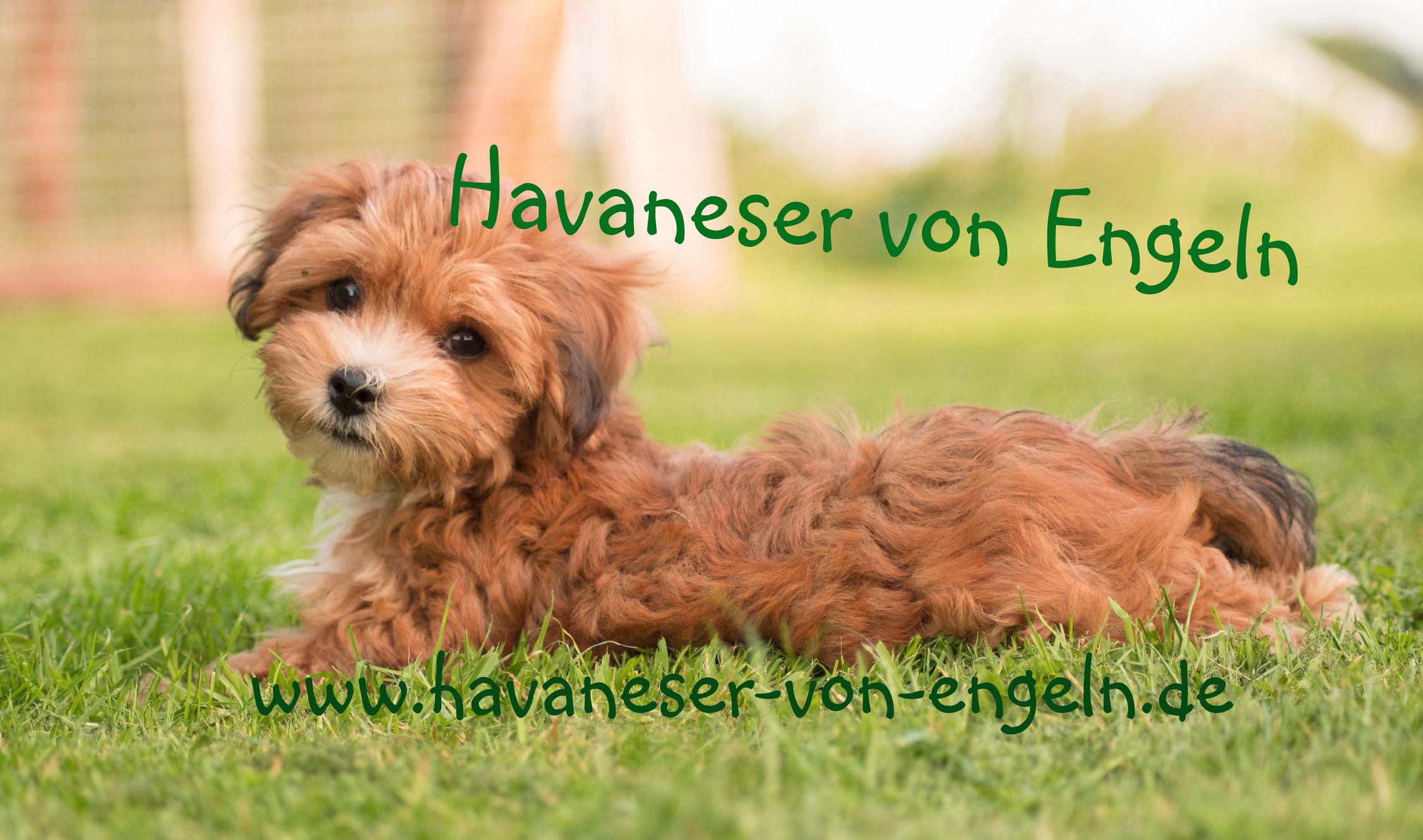 Havaneser Zuchter Niedersachsen Asendorf Havaneser Von Engeln