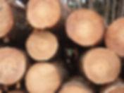 radiata-pine-1.jpg