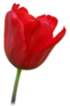 red tulip.png