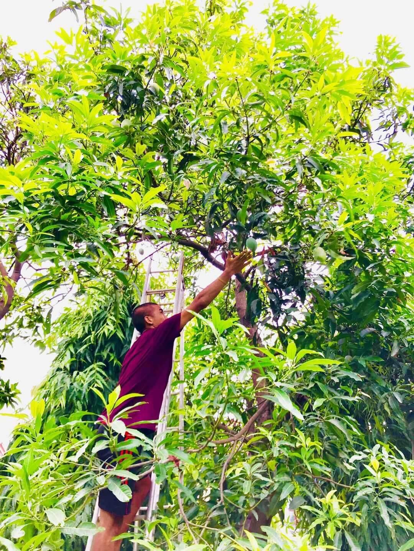 Picking mangoes at VVI