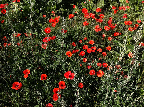 mametz poppies.JPG