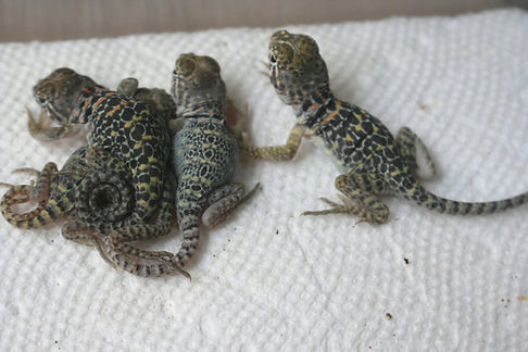 2nd clutch of mixes 5 hatched 7-9-2021.jpg