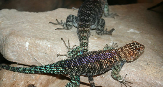 Dazzles purple back.jpg
