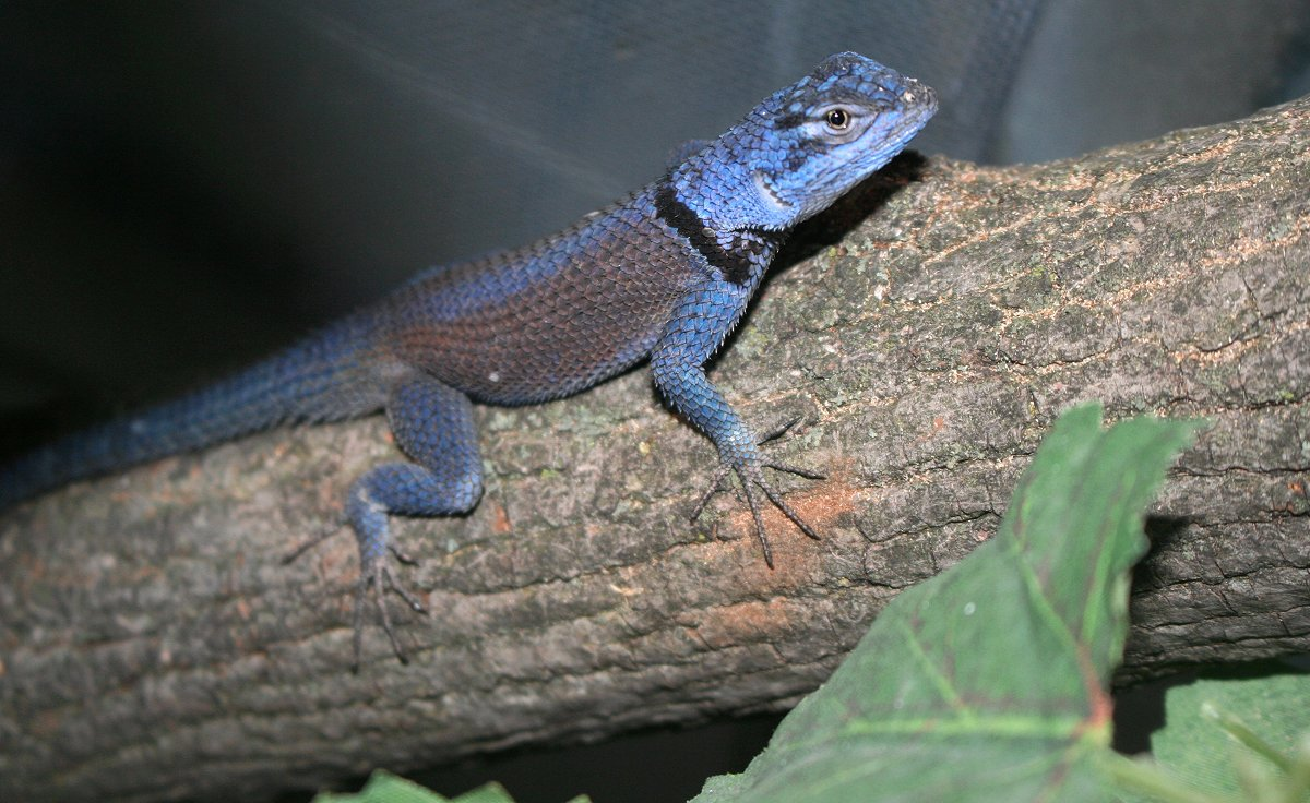Smurf *Sceloporus  minor