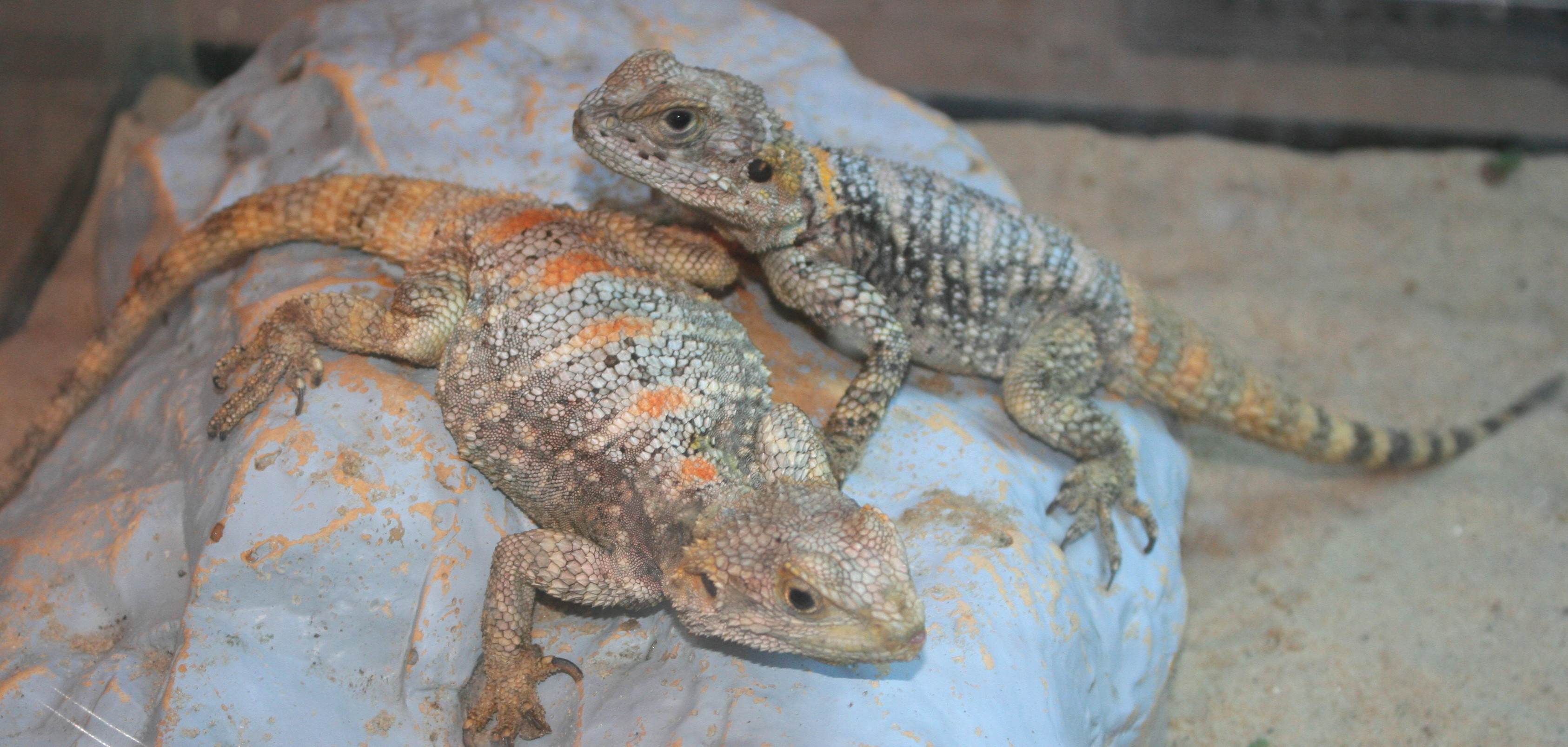 Kissmas & Kringle * Clown Agama