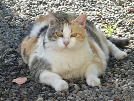 Cat Obesity: Not a Problem to Be Taken Lightly