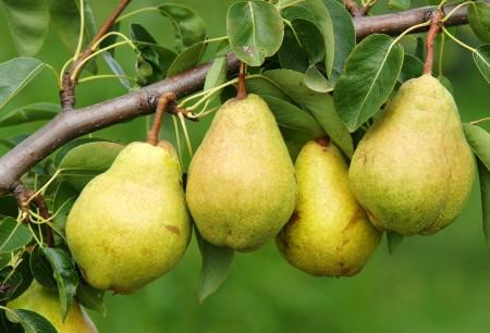 Pears Fall Foods