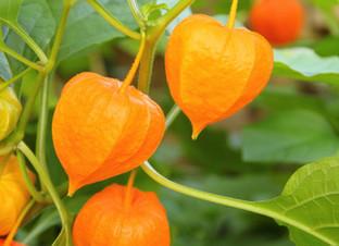 Food Focus: Ground Cherry