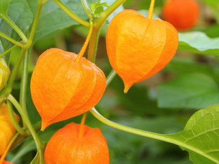 Food Focus: Ground Cherry