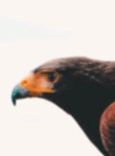 aigle, précision, force, royal, déterminé