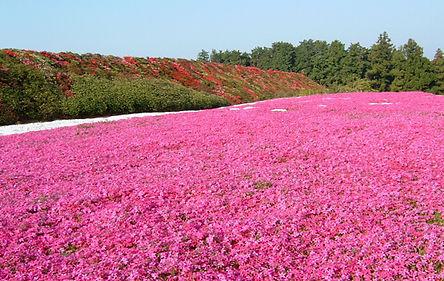 松本ツツジ園の芝桜は花の絨毯