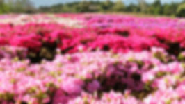 松本ツツジ園の一面の芝桜