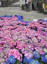 シーボルトが愛した花