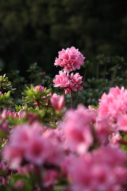 松本ツツジ園の芝桜