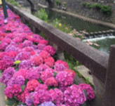 紫陽花祭りに行ってきました!