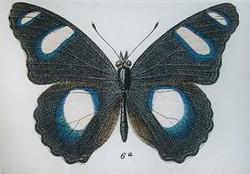 Black Butterfly #6a B-217