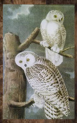 snow owls.jpg