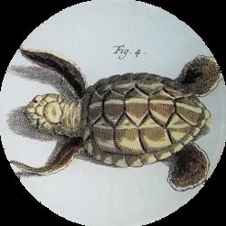 Turtle Figure 4 R-19