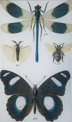 Blue and Black Butterfly   and Drago