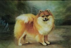 Tawney Pomeranian C-424