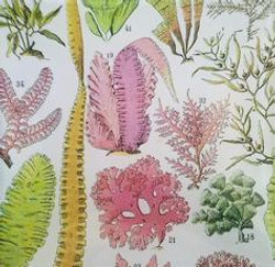 Seaweed Study #34 S-114