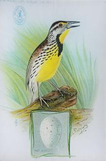 Singer Meadowlark O-153