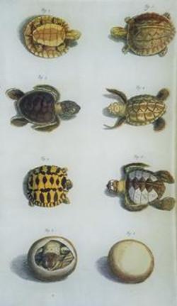 Turtle Study R-6