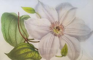 Large White Clematis FL-21