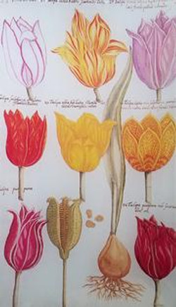 Tulip Study FL-354