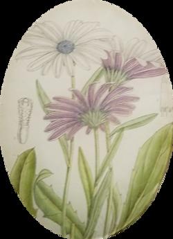 Purple Ecklonis FL-450