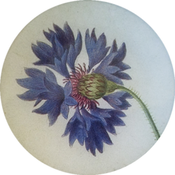 Blue Carnation FL-749