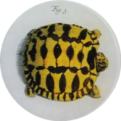 Turtle #3 R-11