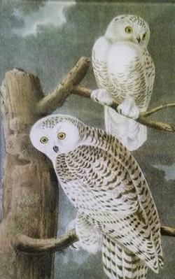 2 Snow Owls O-216