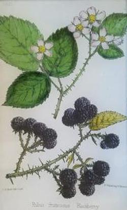 Blackberry Flower and   Fruit FL-275
