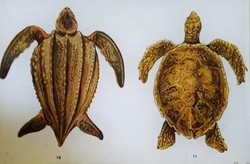 2 Sea Turtles R-29