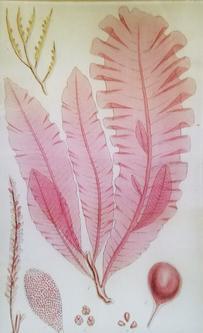 Pink Seaweed #2 S-3