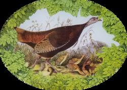 Woodland Wild Turkeys W-15