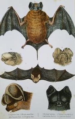 Bat Study A-4
