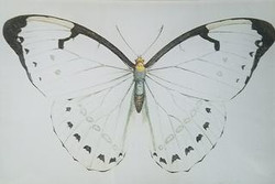 White with Black Butterfly B-131