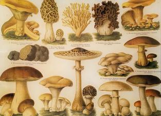 Brown Mushroom Study FL-730