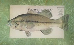 Striped Bass over Post Card F-19