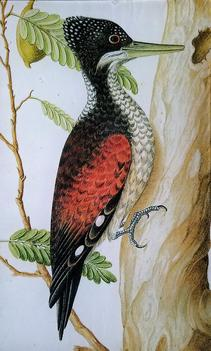 Blackheaded Woodpecker O-69