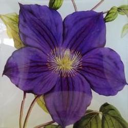 Purple Clematis FL-166